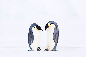 Emperor penguin (Aptenodytes forsteri), two males, one with hatching egg, the other with young chick. Atka Bay, Antarctica. August. Winner of the Bird Category of the GDT Nature Photographer of the Ye...  -  Stefan Christmann