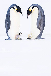 Emperor penguin (Aptenodytes forsteri), two males, one brooding young chick, the other incubating hatching egg. Atka Bay, Antarctica. August. Series 4/4. - Stefan Christmann