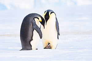 Emperor penguin (Aptenodytes forsteri), two with recently hatched chick. Atka Bay, Antarctica. August. - Stefan Christmann