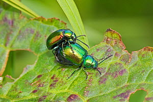 Flea beetles (Altica sp,) mating pair, Sutcliffe Park Nature Reserve, Eltham, London, England, UK. May. - Rod Williams
