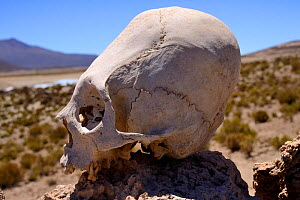 Deformed skull with sloping forehead, found at Chullpa / funeray tower. Ceremonial tomb from between 1200-1450 AD, San Juan del Rosario, Bolivia. - Daniel  Heuclin
