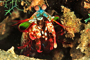 Mantis shrimp (Odontodactylus scyllarus) on the edge of its burrow, Sulu Sea, Philippines  -  Pascal Kobeh