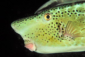 Close-up of Horn-nosed / Largenose boxfish (Ostracion rhinorhynchos) with a striped remora (Echeneis naucrates) on its head at night, Sulu Sea, Philippines  -  Pascal Kobeh