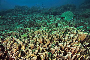 Field of Hard corals (Echinopora pacificus) Sulu Sea, Philippines  -  Pascal Kobeh