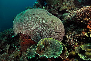 Reef with hard corals, with on the foreground (Leptoseris sp), a moon coral (Diploastrea heliopora) in the background and on the right Acropa tables coral (Acropora sp.) Sulu Sea, Philippines - Pascal Kobeh