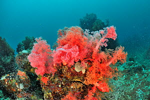 Coral reef with mainly soft corals (Dendronephthya sp.) Azores, Atlantic Ocean.  -  Pascal Kobeh