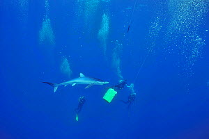 Blue shark (Prionace glauca) with divers, Azores, Atlantic Ocean. - Pascal Kobeh