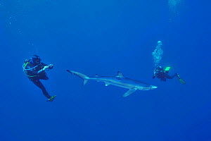 Blue shark (Prionace glauca) with divers filming or photographing it, Azores, Atlantic Ocean. - Pascal Kobeh