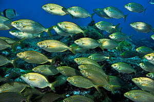 School of Cow breams (Sarpa salpa ) Azores, Atlantic ocean.  -  Pascal Kobeh