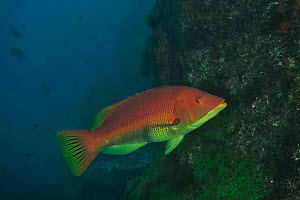 Barred or Red hogfish (Bodianus scrofa) Azores, Atlantic ocean.  -  Pascal Kobeh