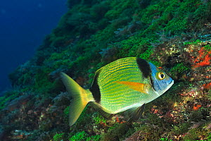 Common two-banded sea bream (Diplodus vulgaris) Azores, Atlantic ocean.  -  Pascal Kobeh