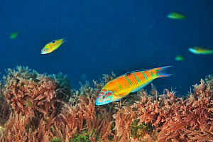 A group of female Turkish wrasses or ornate wrasses (Thalassoma pavo) Azores, Atlantic ocean.  -  Pascal Kobeh