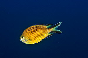 Azores chromis or Atlantic damselfish (Chromis limbata) Azores, Atlantic ocean.  -  Pascal Kobeh
