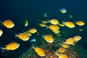 Azores chromis / Atlantic damselfish (Chromis limbata) Azores, Atlantic ocean.  -  Pascal Kobeh