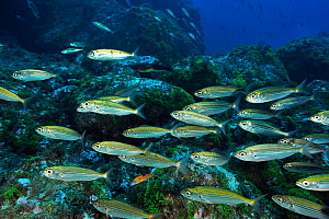 School of Bogues (Boops boops) on the reef, Azores, Atlantic ocean.  -  Pascal Kobeh
