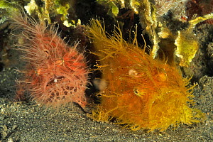 Pair of Striated frogfish / anglerfish (Antennarius striatus) Sulu Sea, Philippines. - Pascal Kobeh