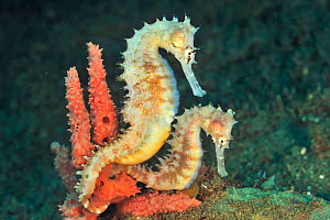 Thorny seahorses (Hippocampus histrix) in coral, Sulu Sea, Philippines.  -  Pascal Kobeh