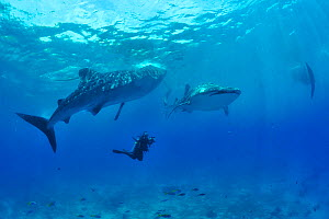 Whale sharks (Rhincodon typus) swimming with diver, Sulu Sea, Philippines.  -  Pascal Kobeh