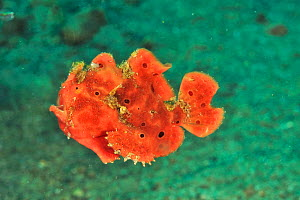 Painted frogfish / anglerfish (Antennarius pictus) Sulu Sea, Philippines.Small repro only  -  Pascal Kobeh