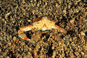 Olive purse crab / pebble crab (Leucosia pubescens) burying itself in the sand at night, Sulu Sea, Philippines - Pascal Kobeh