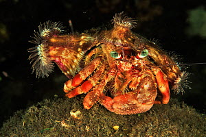 Coral hermit crab (Dardanus pedunculatus) with sea anemones on its shell - the anemones get better feeding opportunities from extra mobility, the crab gains extra protection. Sulu Sea, Philippines. Me... - Pascal Kobeh