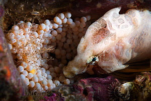 Grunt sculpin (Rhamphocottus richardsoni) male watching over a clutch of eggs. Miyagi Prefecture, Japan, Pacific Ocean.  -  Tony Wu