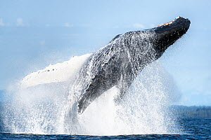 North Pacific humpback whale (Megaptera novaeangliae kuzira) breaching, Icy Strait, Alaska, USA. July.  -  Tony Wu