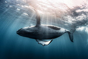 Humpback whale calf (Megaptera novaeangliae australis) swimming just under the ocean surface, partially backlit by dramatic rays of sunlight. Vava'u, Tonga, Pacific Ocean.  -  Tony Wu