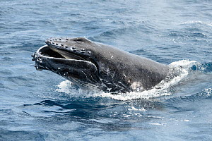 Humpback whale calf (Megaptera novaeangliae australis) male calf launching partially out of the water with his mouth open while playing together with mother. Vava'u, Tonga, Pacific Ocean. - Tony Wu