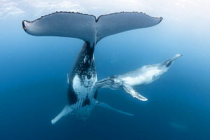 Humpback whale calf (Megaptera novaeangliae australis) female nudging her mother's mammary gland whilst trying to feed. Vava;u, Tonga, South Pacific.  -  Tony Wu
