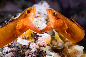Two male Zoarchias major eelpouts (Zoarchias major) engaged in a mouth-to-mouth confrontation. Yamaguchi Prefecture, Japan, Pacific Ocean. - Tony Wu