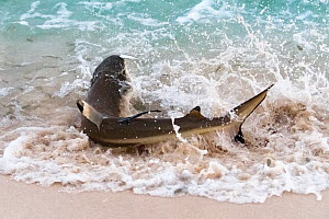 Blacktip reef shark (Carcharhinus melanopterus) beaching itself to catch sardines. Tonga South Pacific.  -  Tony Wu
