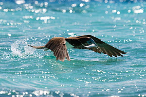 Brown booby (Sula leucogaster) taking off from the ocean surface after catching a sardine, with the fish still struggling in the bird's beak. Vava'u, Tonga, South Pacific Ocean.  -  Tony Wu