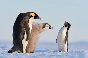 Adelie penguin (Pygoscelis adeliae) aggressive interaction with Emperor penguin (Aptenodytes forsteri) and chick, Atka Bay, Queen Maud Land, Antarctica. - Stefan Christmann