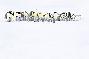 Emperor penguin (Aptenodytes forsteri) colony with chicks, Atka Bay, Queen Maud Land, Antarctica. October.  -  Stefan Christmann