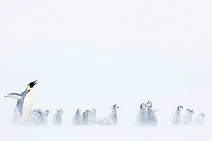 Emperor penguin (Aptenodytes forsteri) with creche of chicks, Atka Bay, Queen Maud Land, Antarctica. October. - Stefan Christmann