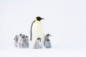 Emperor penguin (Aptenodytes forsteri) adult with creche of chicks, Atka Bay, Queen Maud Land, Antarctica. October.  -  Stefan Christmann