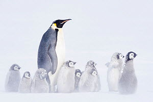 Emperor penguin (Aptenodytes forsteri) with many chicks in cold, Atka Bay, Queen Maud Land, Antarctica. October.  -  Stefan Christmann