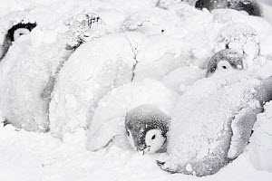 Emperor penguin (Aptenodytes forsteri) chicks huddling in bad weather to keep warm. Atka Bay, Queen Maud Land, Antarctica. October. - Stefan Christmann