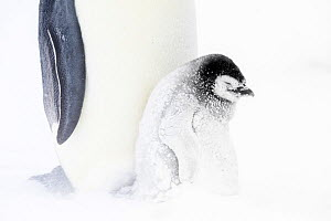 Emperor penguin (Aptenodytes forsteri) chick next to parent in snow, Atka Bay, Queen Maud Land, Antarctica. October.  -  Stefan Christmann
