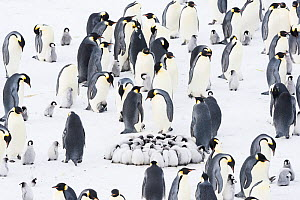 Emperor penguin (Aptenodytes forsteri) colony with with huddled chicks, Atka Bay, Queen Maud Land, Antarctica. October. - Stefan Christmann