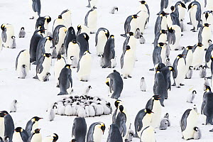 Emperor penguin (Aptenodytes forsteri) colony with with creche of huddling chicks, Atka Bay, Queen Maud Land, Antarctica. October.  -  Stefan Christmann
