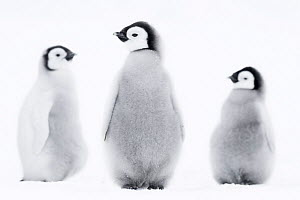 Emperor penguin (Aptenodytes forsteri) three~chicks, Atka Bay, Queen Maud Land, Antarctica. October. - Stefan Christmann