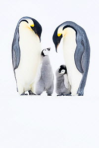 Emperor penguin (Aptenodytes forsteri) two adults with chicks,Atka Bay, Queen Maud Land, Antarctica. October. - Stefan Christmann