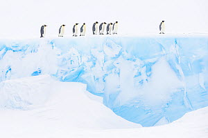 Emperor penguin (Aptenodytes forsteri) group walking on glacier, Atka Bay, Queen Maud Land, Antarctica. October.  -  Stefan Christmann