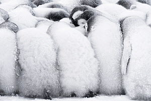 Emperor penguin (Aptenodytes forsteri) chicks huddling together to keep warm, Atka Bay, Queen Maud Land, Antarctica. October. - Stefan Christmann