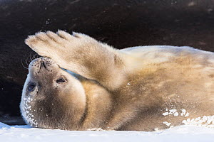 Weddell seal (Leptonychotes weddellii) pup lying on back and grooming flipper, Atka Bay, Queen Maud Land, Antarctica. October.  -  Stefan Christmann