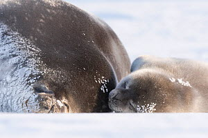Weddell seal (Leptonychotes weddellii) female sleeping hauled out with pup, Atka Bay, Queen Maud Land, Antarctica. October.  -  Stefan Christmann