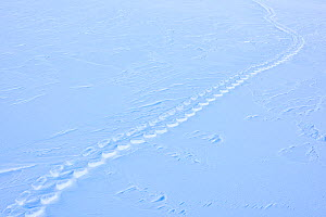 Emperor penguin (Aptenodytes forsteri) tracks in snow, Atka Bay, Queen Maud Land, Antarctica. October.  -  Stefan Christmann