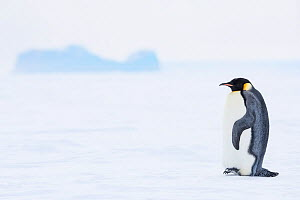 Emperor penguin (Aptenodytes forsteri) and habitat, Atka Bay, Queen Maud Land, Antarctica. October.  -  Stefan Christmann